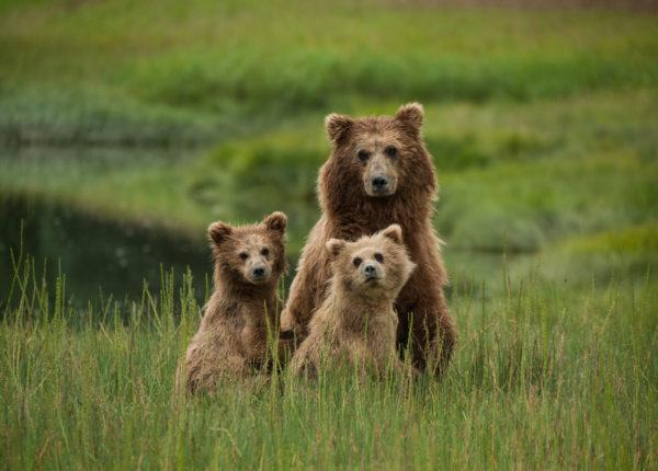 Aljaska medvjedi